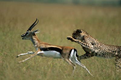 The Cheetah and the Gazelle. Lessons for Running a Half ...