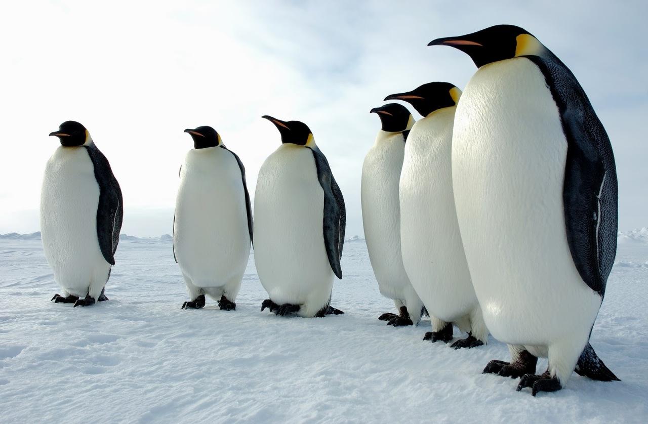 Emperor Penguin1