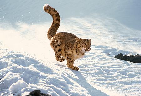Eighth Half Marathon –Penguins and Snow Leopards – aero924
